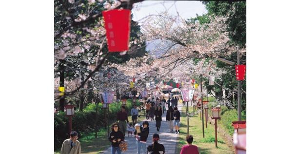 ぼんぼりで照らされる夜桜は昼とは違った趣がある / 橘公園(橘神社)