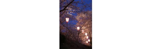 ぼんぼりの灯りが桜を一層ひきたてる / とけん山公園