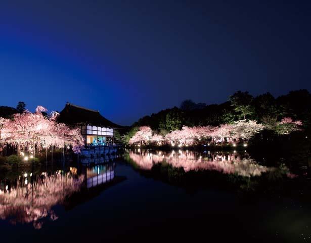 栖鳳池の鏡面に映る夜桜を眺めながらの散策ができるのは、この4日間だけ/平安神宮