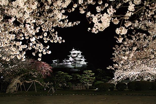 昼とは異なる表情を魅せる夜桜