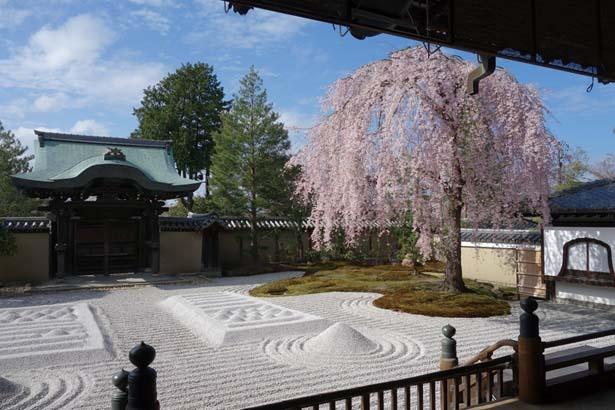 【写真を見る】枯山水式の方丈前庭・波心庭と一本の桜は春の名物/高台寺