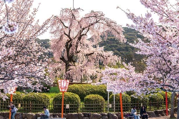 「祇園の夜桜」と称され親しまれる公園のシンボル/円山公園