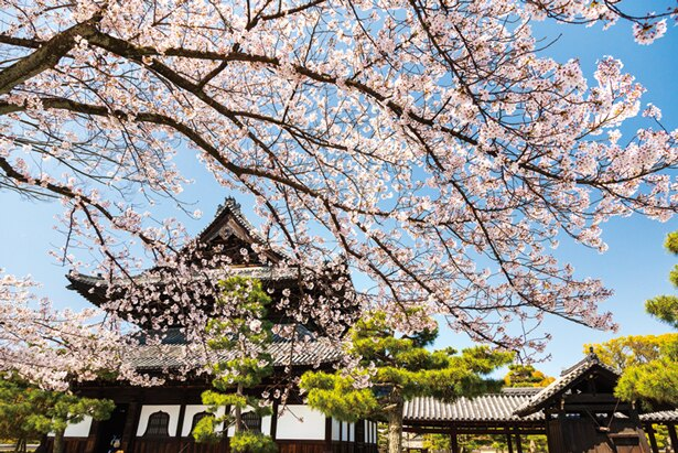 法堂の東側には大きなヤマザクラが咲き誇る/建仁寺