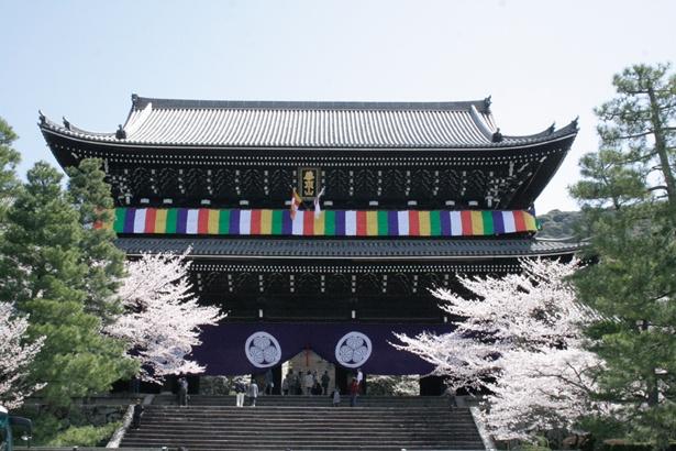 高さ約24mの三門に負けないほど力強いソメイヨシノ/総本山 知恩院