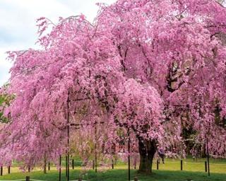 賀茂川沿いに花見の名所が点在!京都・上賀茂~下鴨神社中心に巡る桜スポット4選