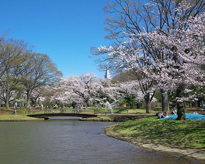 代々木公園のお花見攻略法!都心のオアシスで春を満喫