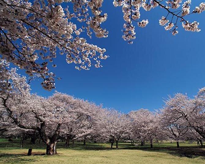 国営昭和記念公園のお花見攻略法!31品種のサクラが開花