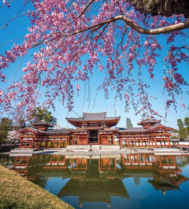 鳳凰堂前の庭園から見る桜。シダレザクラと共にその美しい姿を水面に映す/平等院