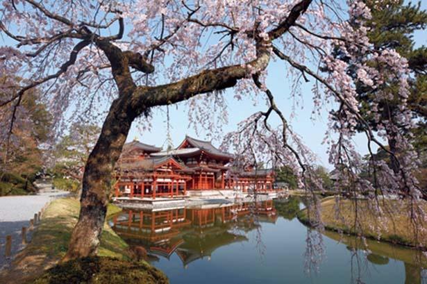 【写真を見る】桜越しの鳳凰堂も見事。極楽浄土をイメージして造られたという庭に立つ鳳凰堂と桜が水面に揺れる/平等院