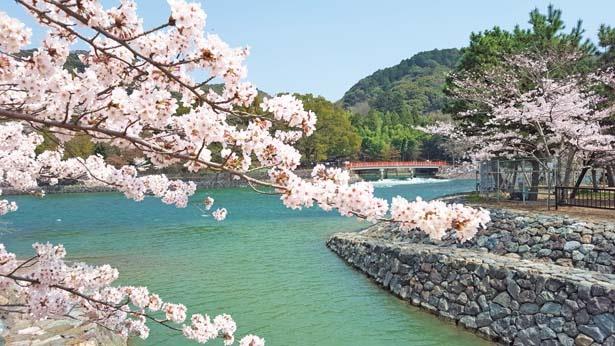 せせらぎを聞きつつ散歩をしたり、川沿いに座ったりして桜を観賞できる。周辺の寺社にも立ち寄って/宇治橋上流
