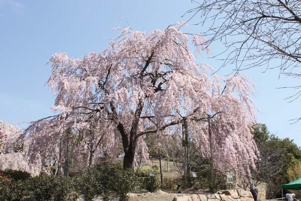 園内で最も大きいシダレザクラで、推定樹齢は70年。咲き誇る花を優美に垂らす見事な枝ぶりに感動/宇治市植物公園