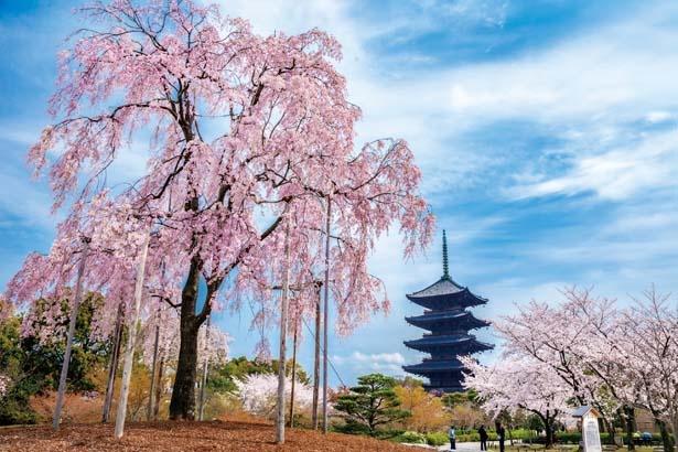 不二桜。庭園でひと際目をひく、樹齢130年を超えるヤエベニシダレザクラ/東寺