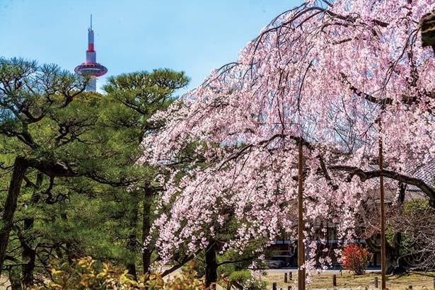 庭園奥の印月池(いんげつち)がある庭からは、桜越しに京都タワーが見える京都らしい風景が/渉成園