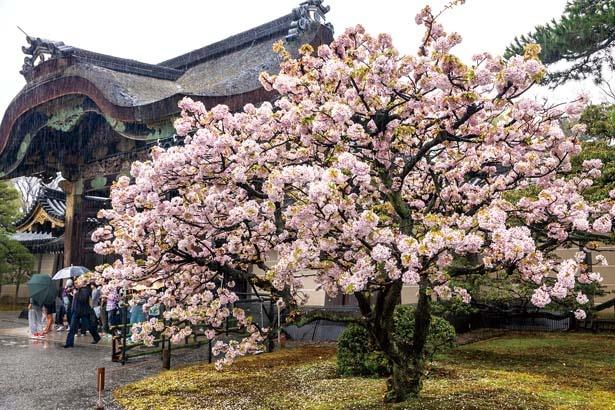 極彩色の彫刻が輝く、国の重要文化財でもある唐門。堂々とした姿を、丸い形がかわいい桜「御所御車返し」が彩る/元離宮二条城