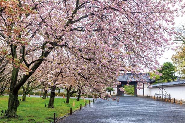 城内の桜は桜の園(写真)や、清流園、城内西側に植栽されている/元離宮二条城