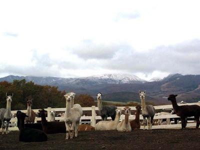 広大な牧場に、400頭以上のアルパカが飼育されている