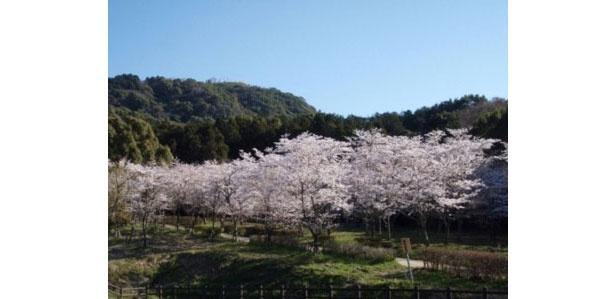 【写真を見る】春の森の名にふさわしい見事な桜 / 太宰府市民の森