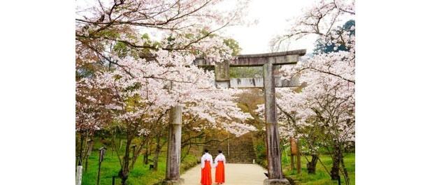 鳥居の周辺でもソメイヨシノが咲き誇る