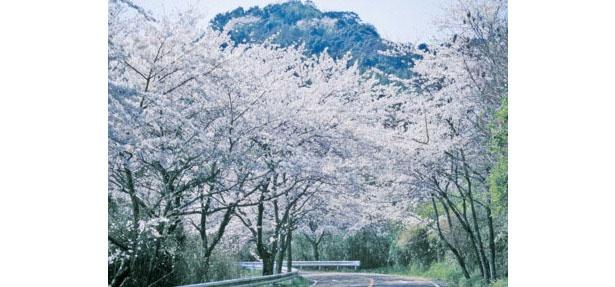 梅だけでなく、太宰府の桜も一見の価値あり / 四王寺林道・岩屋城跡