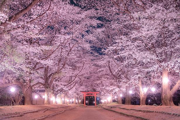 グランプリを獲得した作品名「桜の参道」(投稿者:Akira Otsuzumi)【東蕗田天満社、茨城県八千代町】