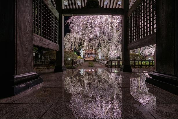 準グランプリを獲得した作品名「桜鏡」(投稿者:悠高橋)【安国寺、茨城県水戸市】