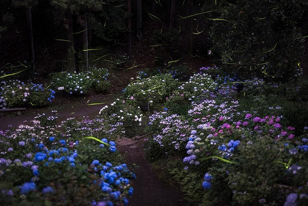 詩歩賞を獲得した作品名「保和苑の紫陽花蛍」(投稿者:Tomohiro Anzai)【保和苑、茨城県水戸市】