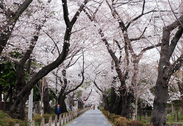 都内の桜名所をタクシーの車窓から楽しめる