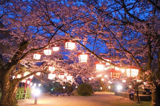 【写真】ボンボリが点灯され、夜桜も楽しめる