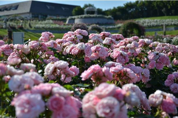 美しく整えられた春のバラが華麗に咲き誇る