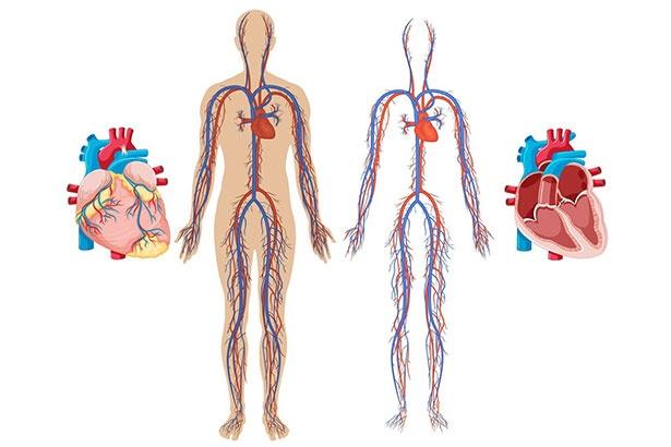 大人1人の血管をすべてつなげた長さは?【クイズ】(1/2)|ウォーカープラス