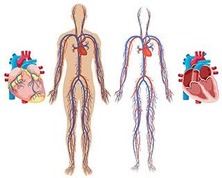 大人1人の血管をすべてつなげた長さは?【クイズ】