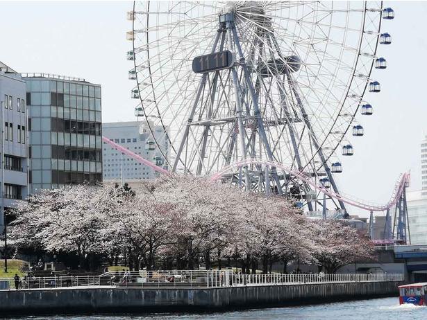 【写真】川を下り横浜港でも桜の花を観ることができる