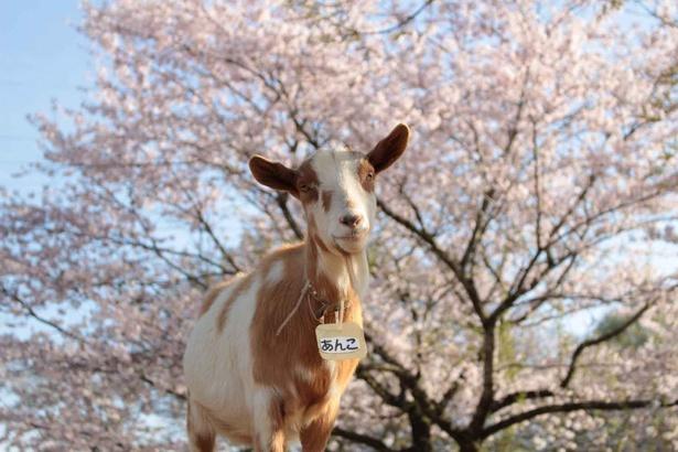 動物と桜のコラボレーションが見られるのは成田ゆめ牧場ならではだ