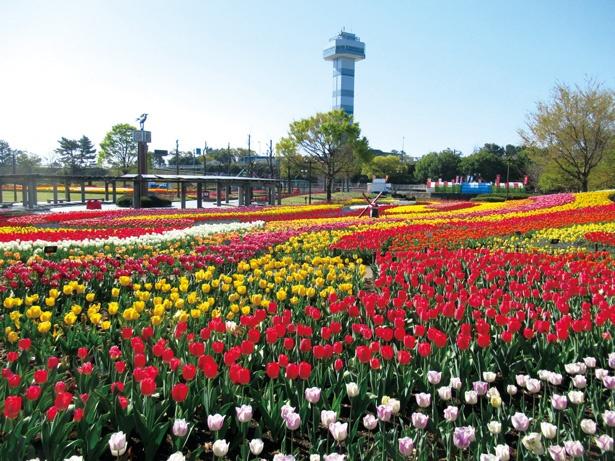 3月下旬から4月中旬に見頃を迎えるチューリップと、展望タワーの共演は必見。展望台から見下ろそう / 木曽三川公園センター