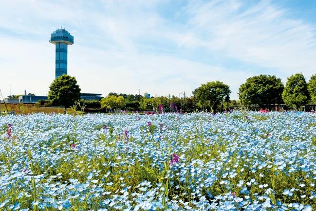 【写真を見る】GWごろに、奥に見える展望タワーをバックに、美しい青い花を咲かせるネモフィラ / 木曽三川公園センター