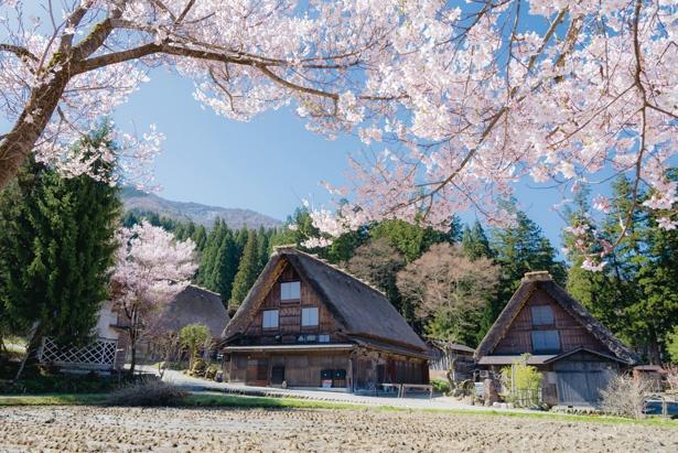 4月中旬から5月上旬にかけてサクラやカタクリなどが咲き、集落一帯を鮮やかに染める / 白川郷