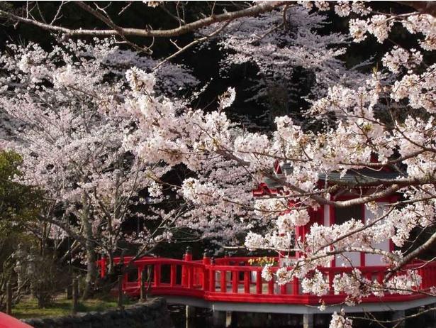 【写真】満開の桜と公園内にある弁天堂の朱色のコラボレーション