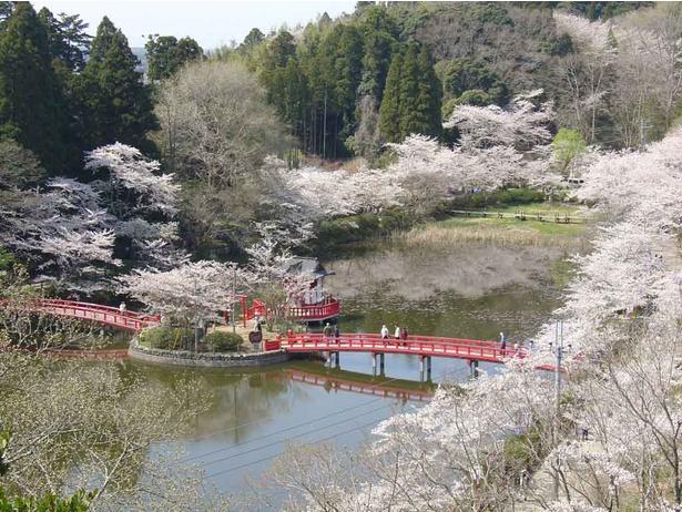 日本さくら名所100選にも選ばれた茂原公園の桜は見ごたえたっぷりだ!
