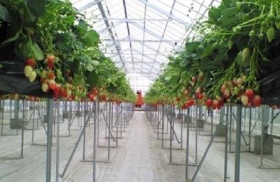 高設栽培で摘み取り作業も楽々/観光いちご園いちごの杜