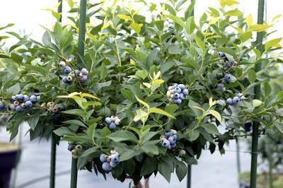 たわわに実ったブルーベリーの果実