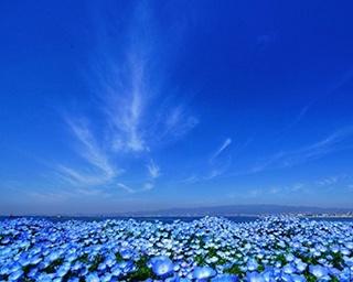 """舞洲の""""100万株の青い花""""ネモフィラをネット配信中!「ネモフィラ祭り 2020」開催中止で"""