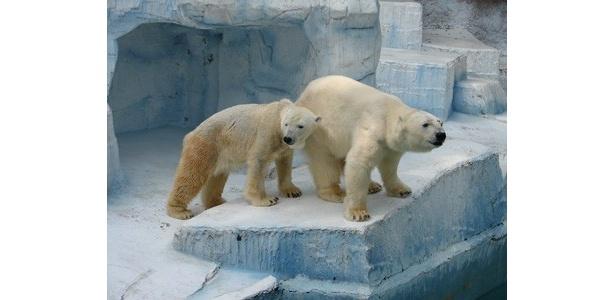 今年は2頭で仲良く氷柱を食べる様子が見られるかも!