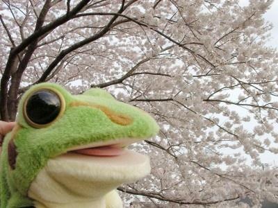 桜の木の下のケロミン