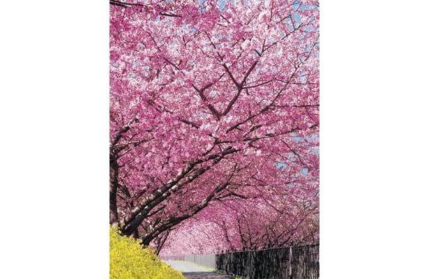 本州一の早咲きサクラ・河津桜を見に行こう!