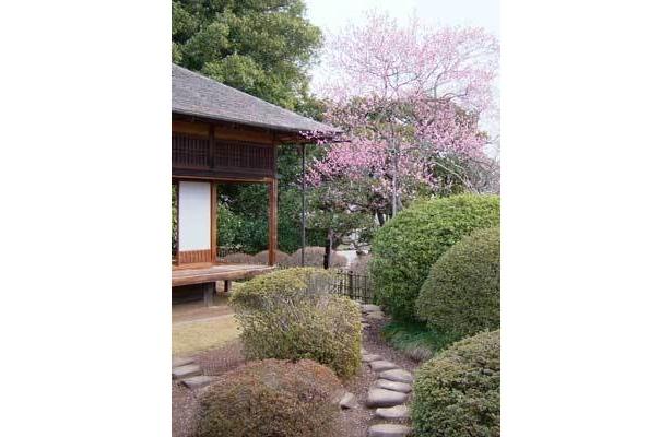 水戸偕楽園で、早春の梅が見られる