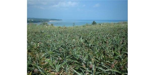 青い海を眺めるパイン畑