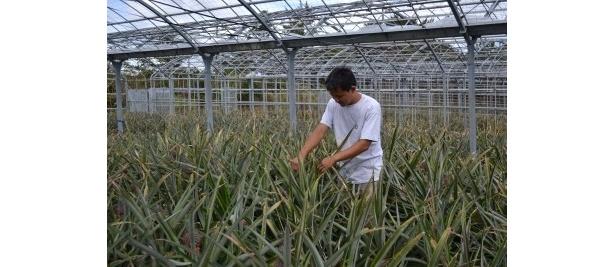 パイナップル職人が丹精込めて育てる