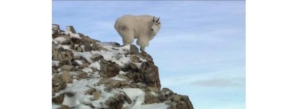ロッキー山脈の危険な崖で生活しているシロイワヤギ