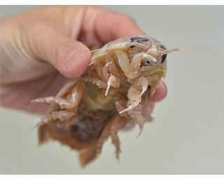 オオグソムシにもタッチできる!マニア垂涎の世界で唯一のエビ&カニ専門水族館「すさみ町立エビとカニの水族館」