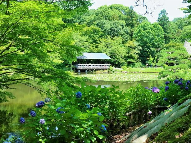 奥池周辺を鮮やかに彩る青もみじ